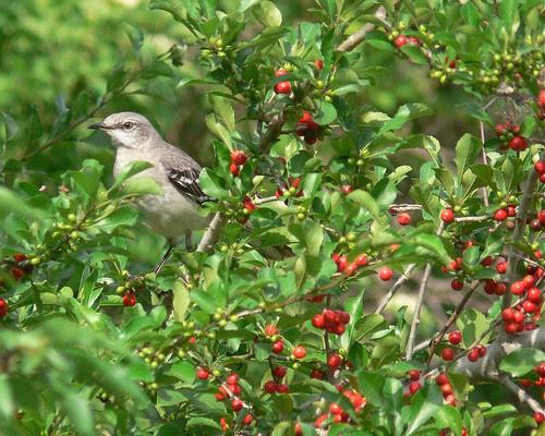 Northern Mockingbird on Possumhaw