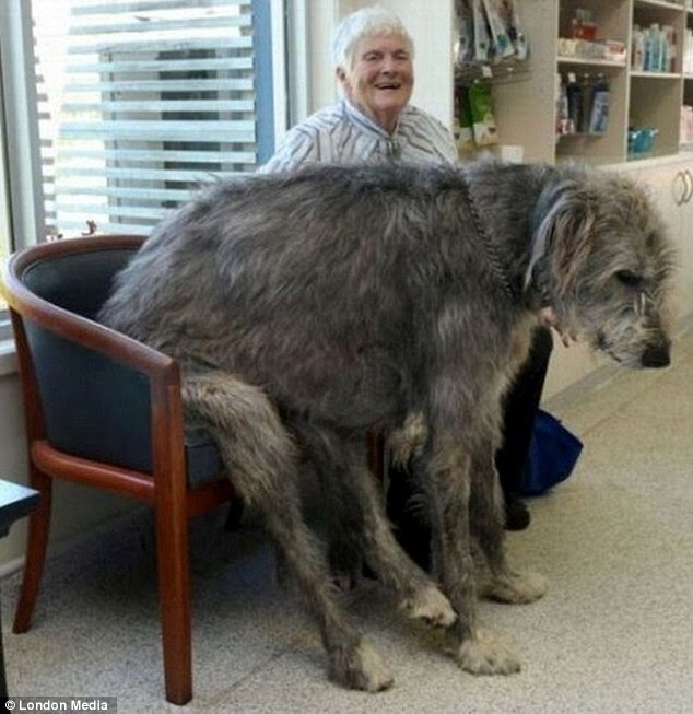 Grizzly: A dog takes a seat alongside its owner. It's not easy carrying around all that weight all day