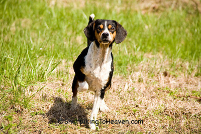 Beagle Curiosity, Phelps County, Missouri