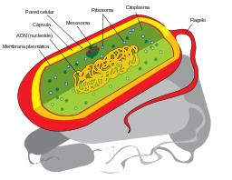 Prokaryote cell diagram es