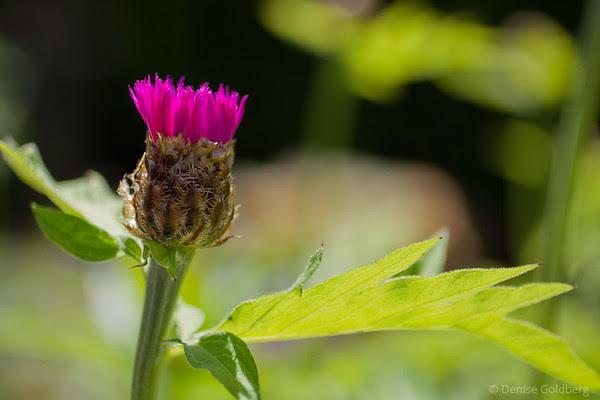 spiky, pink, flower