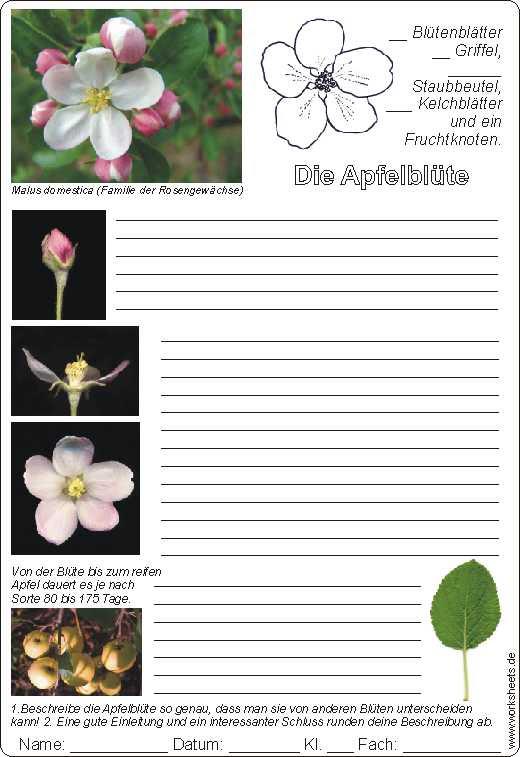Beschreibung Apfelblute AB