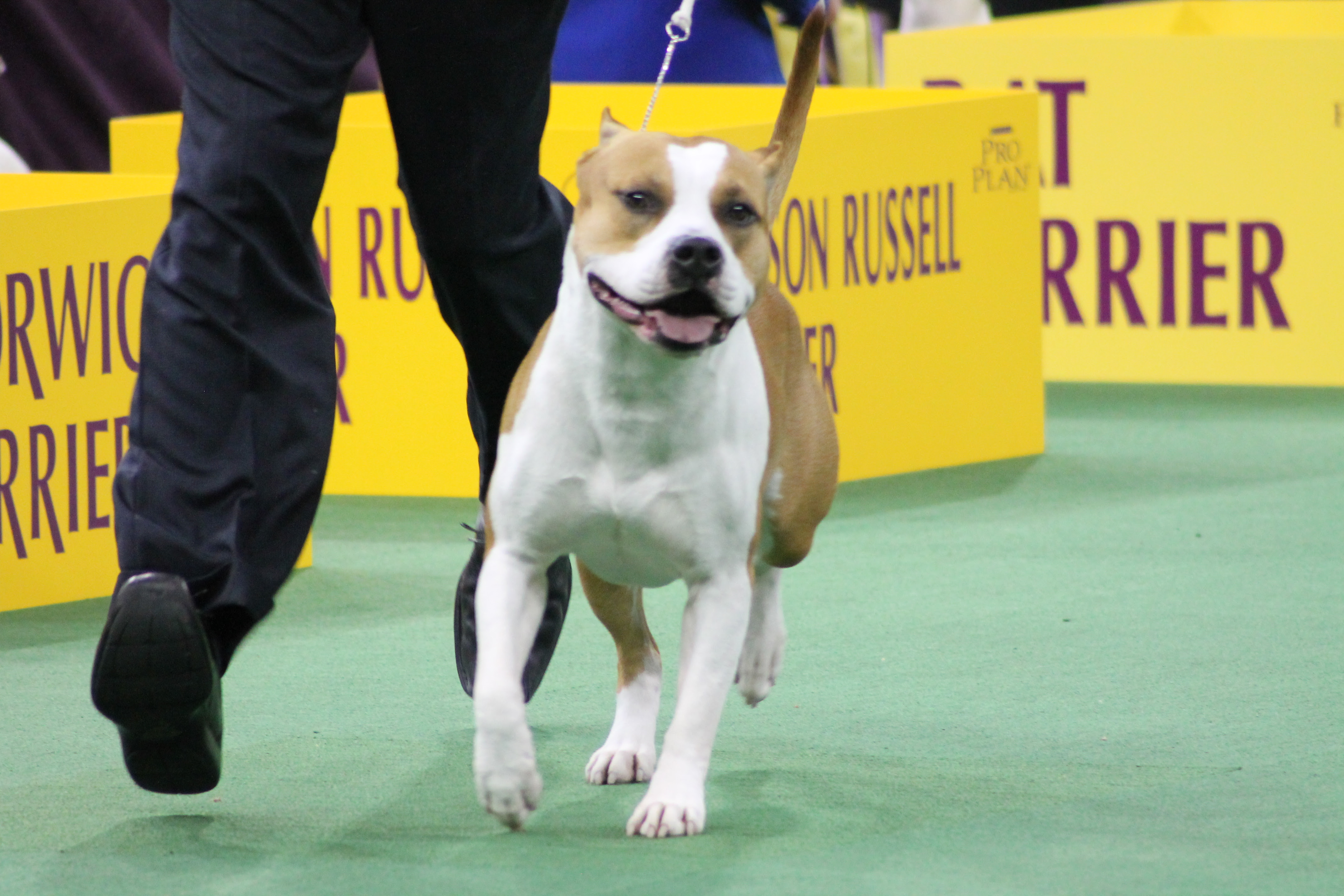 Westminster Dog Show Staffordshire Terrier