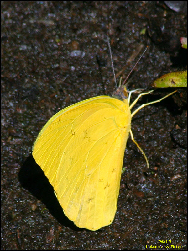 Sulpher Butterfly