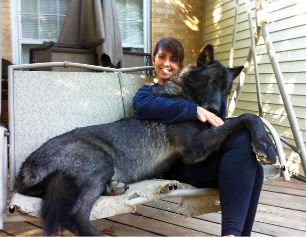 21. Hybrid black wolf the size of the dog