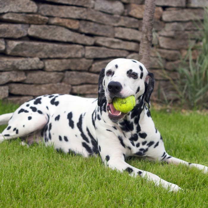 View Ad: Dalmatian Puppy for Sale near New York USA