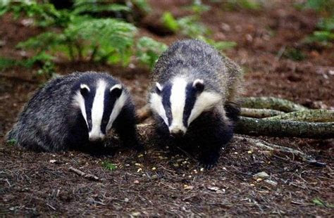 Badgers   Fun Animals Wiki, Videos, Pictures, Stories