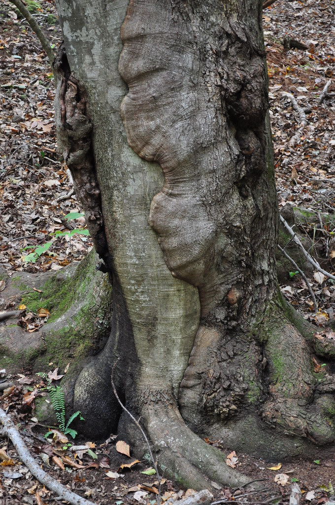 Caledon - Merged Trees 2