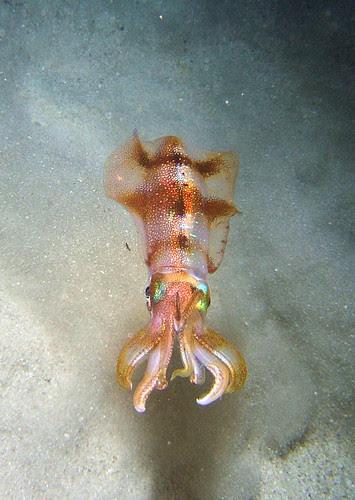 bigfin reef squid 1