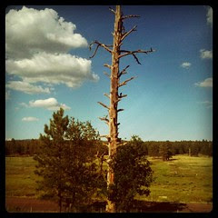 Transitioning to pine forest