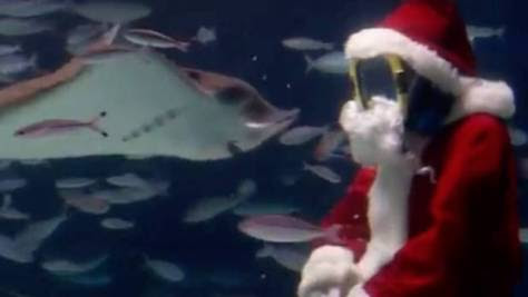 Santa knows which stingrays have been naughty or nice.