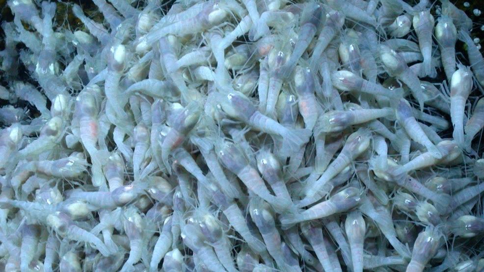 Cientistas dizem que estes camarões azuis podem guardar o segredo para a vida alienígena