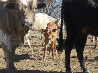 First 2015 Pure Longhorn Bull Calf Vinicio