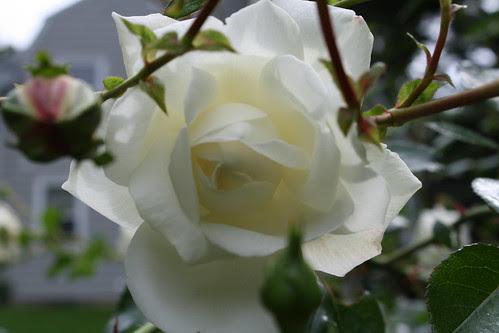 White climbing roses