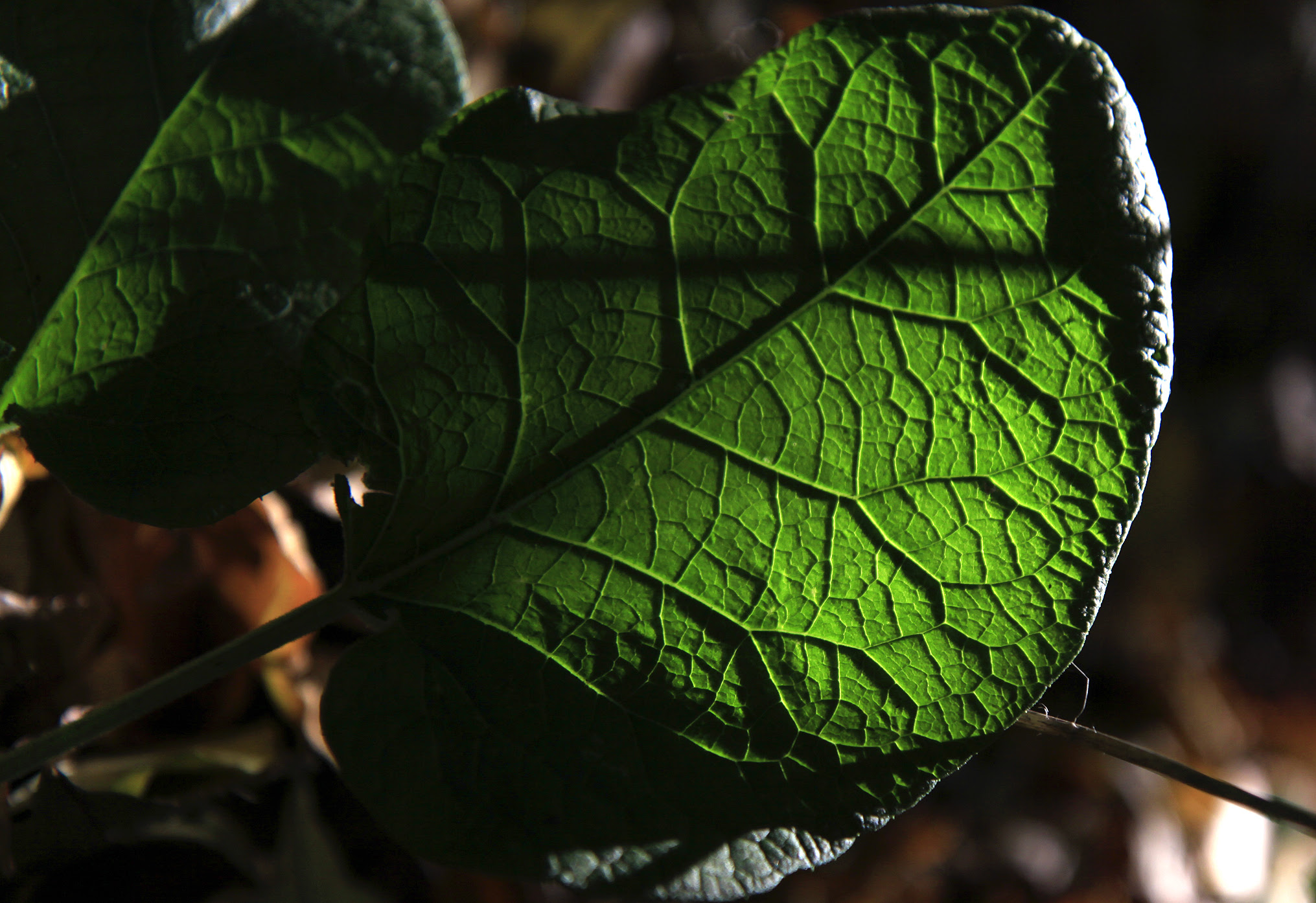 sun through leaf