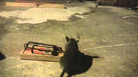 Rat TRap   Doovi