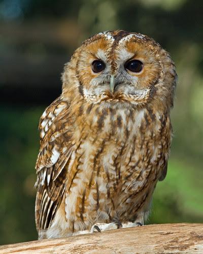 _MG_0399 Tawny Owl (Strix aluco), British wildlife Centre, Lingfield, Surrey 20Oct10