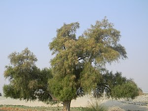 Tamarix tree of Thal desert