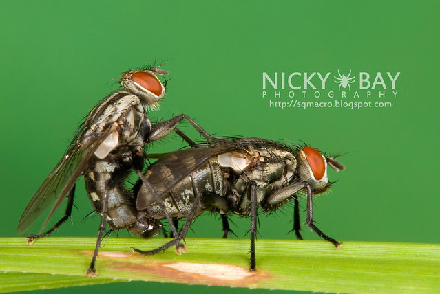 Flesh Flies (Sarcophagidae) - DSC_5103