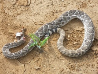 Rattlesnake Shot with Shotgun