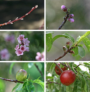 Nectarine (Prunus persica) fruit development o...