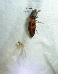 beetle and mayfly