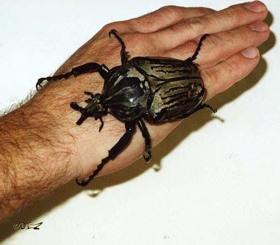 Τα 16 μεγαλύτερα έντομα στον κόσμο (4)