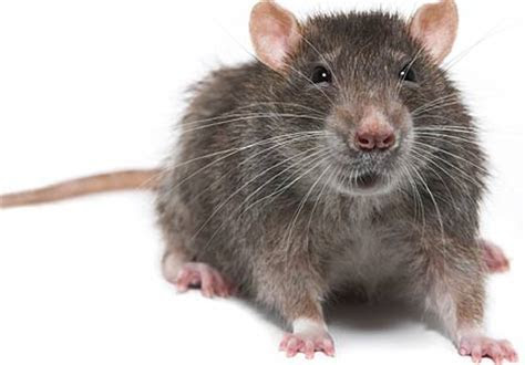 Rodent Infestations: Five Tips for Stopping One Before It Starts   Utah Pest Control