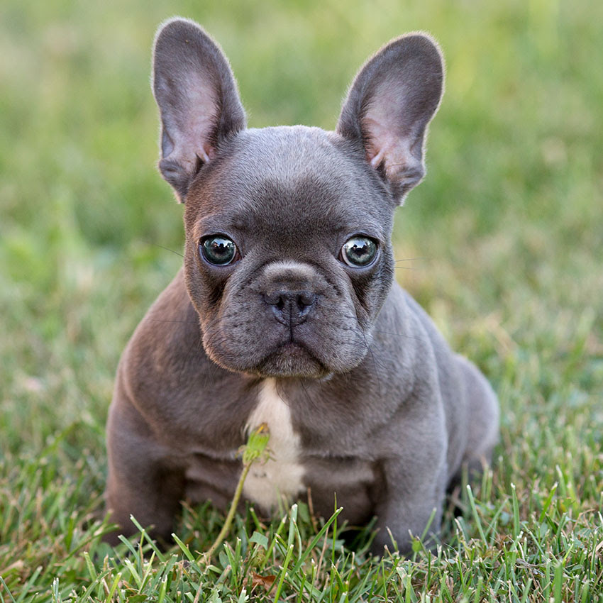 Our Breeding French Bulldog Breed