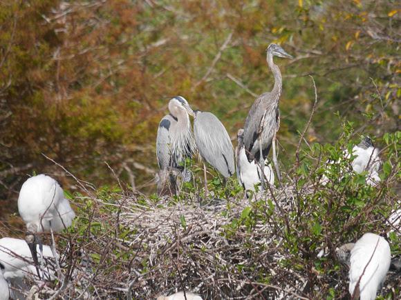 Ed Gaillard: birds &emdash; Great Blue Herons and Wood Storks at nest, Wakodahatchee Wetlands, Florida