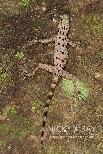 Gecko (Gekkota) - DSC_7957