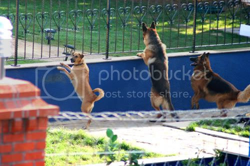domestic dogs