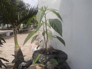 Setelah seminggu Tanaman sudah tumbuh dengan baik,itu berarti adaptasi sudah berjalan lancar,tanaman sudah bisa ditaruh ditempat yang lebih terbuka