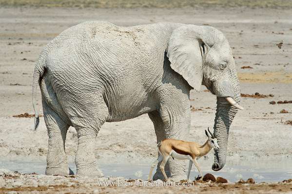 Elephant and Springbok cooling down at Etosha-Nebrownii waterhole