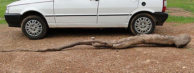 Comprimeto da mandioca é maior do que um carro popular (Foto: Max Weber/Água Boa News)