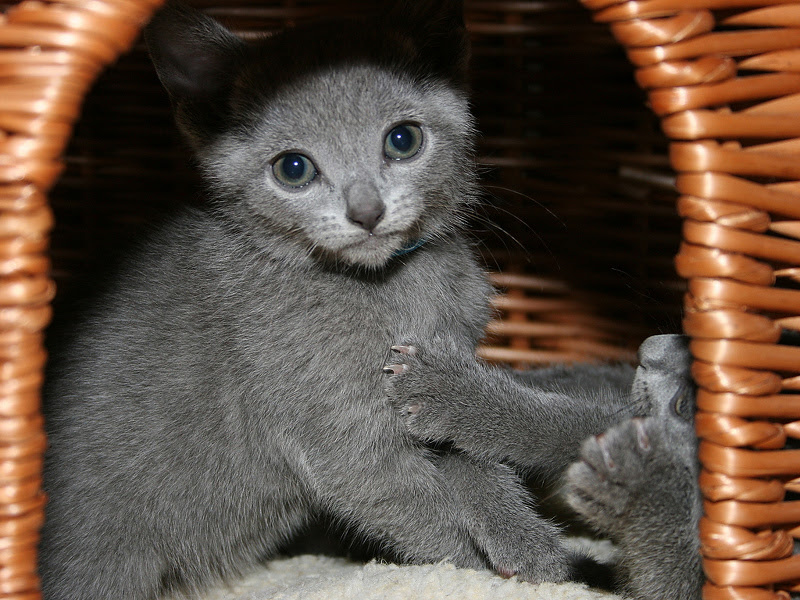Russian Blue Cats For Sale Petfinder