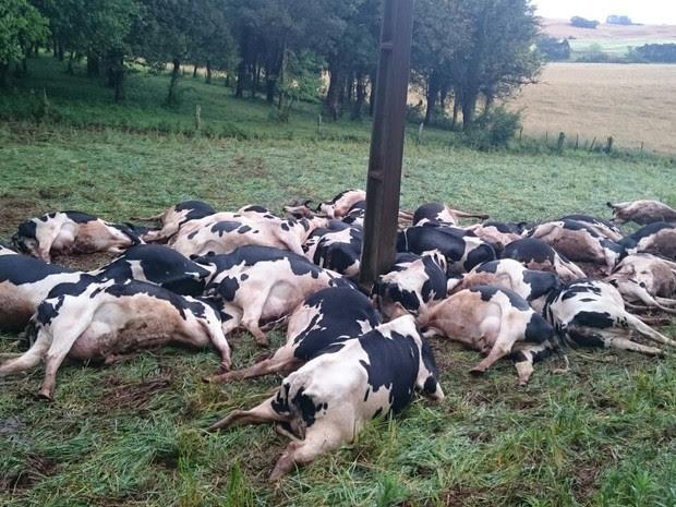 Vacas morreram junto ao poste de energia elétrica após queda de cabo, segundo a família (Foto: Arquivo Pessoal)