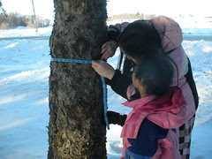 Measuring a Smaller Pine Tree