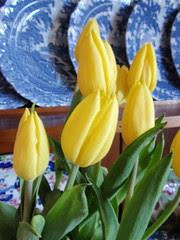 yelloe tulips 2