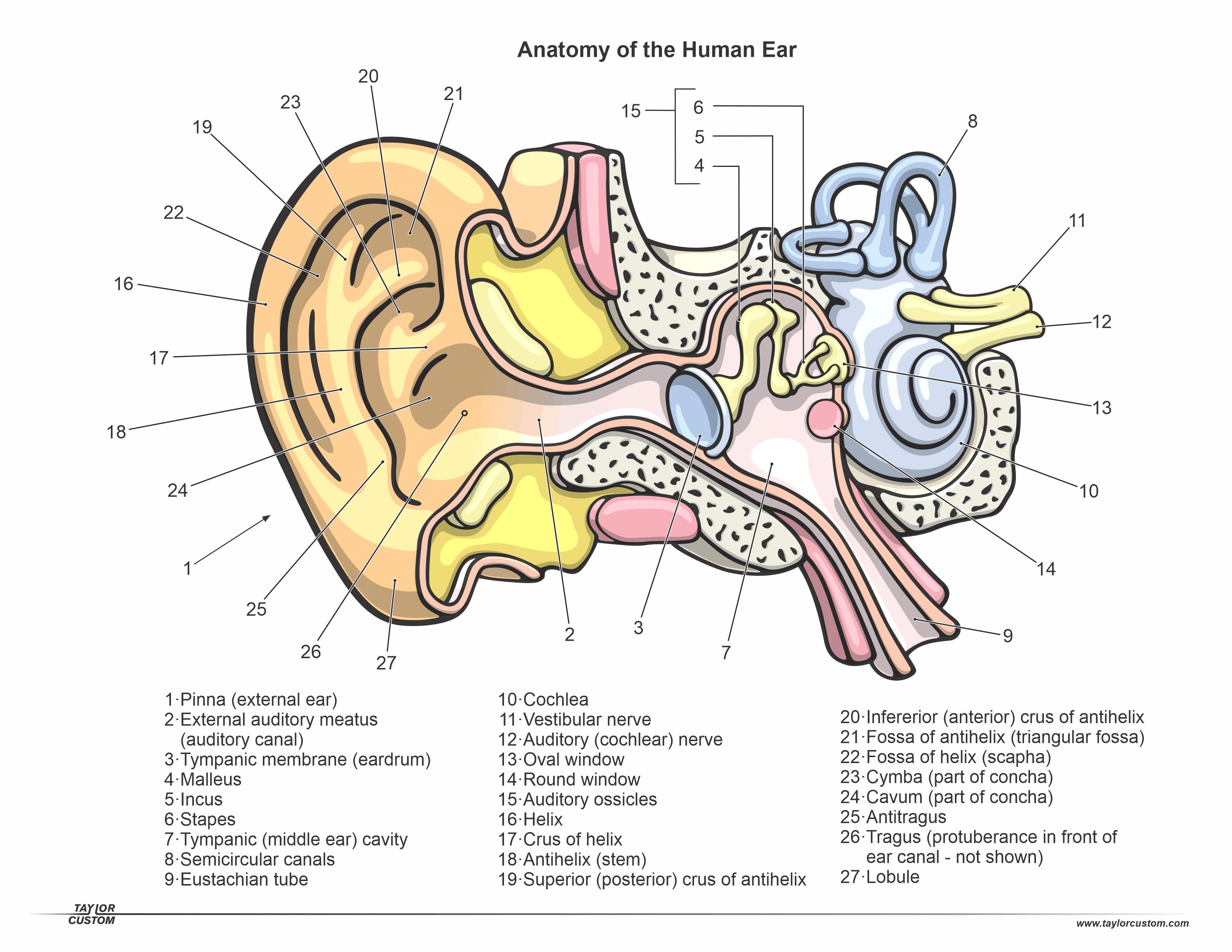 ear diagram year 4 - human body anatomy  human body anatomy