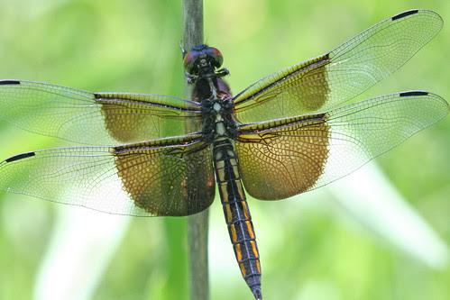 dragon fly big