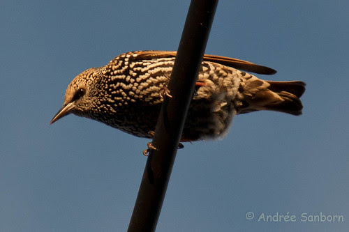 Starlings on the Wires-14.jpg