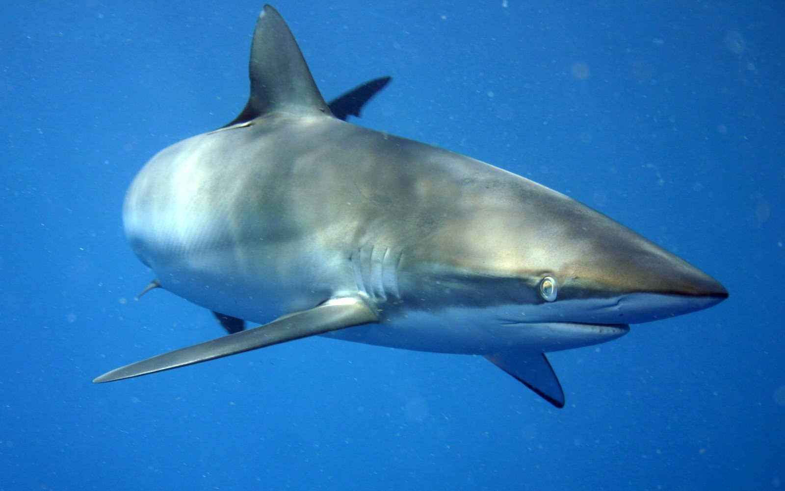 Seidenhai – Carcharhinus  falciformis
