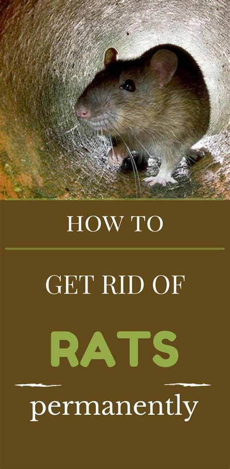 Top 28    Best Way To Get Rid Of Rats   199 best images about get rid of rats mice on pinterest