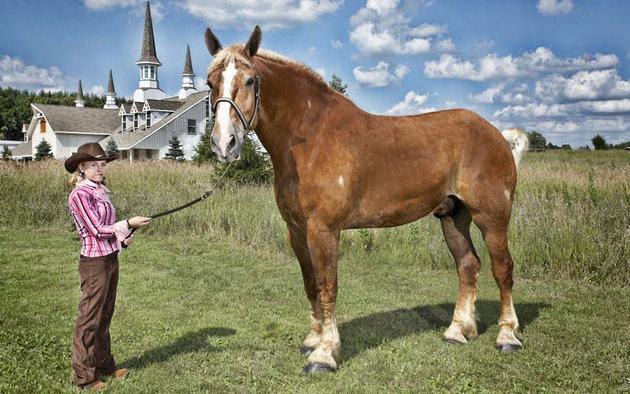 Largest Horse Guinness 2013