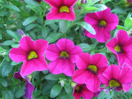 Calibrachoa pink summer 2012
