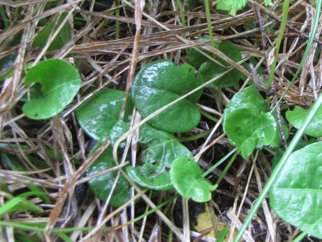 round-leaved pyrola leaves