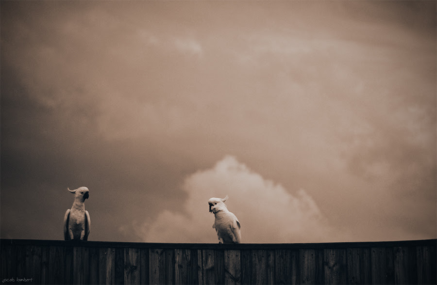 cockatooos