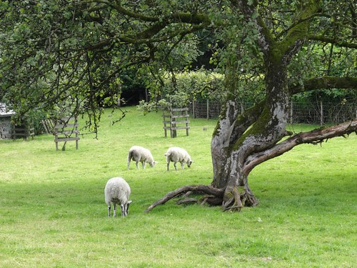Sheep Pasture at Hilltop