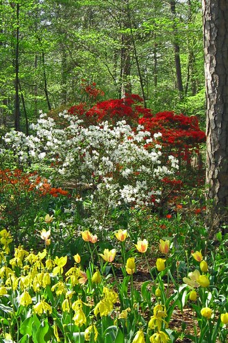 Tulip Azalea Fantasia
